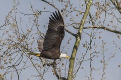 BALD EAGLES NESTING ON LEVEE RD., BROOKVILLE IN. (nsxbirder) Tags: baldeagle indiana haliaeetusleucocephalus brookville whitewaterriver franklincounty
