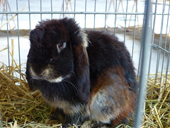 A la Foire de Brignoles (myvalleylil1) Tags: france rabbit animal provence var lapin countryfair
