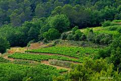 Que du vert ! (didier95) Tags: vert plantation paysage arbre vigne gard languedocroussillon