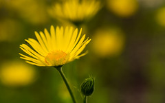 gelbe Margeriten (Role Bigler) Tags: flower nature yellow schweiz switzerland suisse bokeh natur gelb f22 blume margeriten wonderfulworld bokehlicious gelbemargeriten canoneos5dsr tamronsp45mmf18divcusd