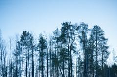 vibrating trees (jollila) Tags: trees sky blackandwhite bw white water blackwhite surface vesti pinta vibrating puut taivas mustavalkoinen valkoinen vrisev