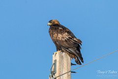 Golden Eagle poses on a pole