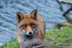 Fox (a3aanw) Tags: amsterdamsewaterleidingduinen nikongebruikersgroep