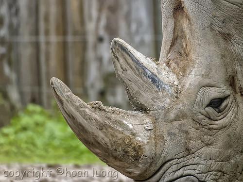 Rhinoceros' two keratin fiber horns