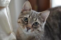 Lucious (Noemi Camarda) Tags: cats cute verde animals cat puppy sweet kitty rosa occhi dolce meow gatto gatti animali animale sweety cucciolo verdi soriano denti baffi occhiverdi nasino profonditdicampo animaledomestico animalidomestici gattisoriani gattosoriano nasorosa