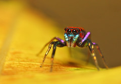 Mr.Color (karthik Nature photography) Tags: color macro nature animals closeup forest garden photography spider spiders wildlife jumpingspider macrophotography salticidae macroworld animalworld spiderworld insectphotography macrolife malejumpingspider colorfuljumpingspider beautifuljumpingspider jumpingspidersinindia