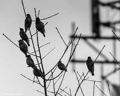 Overcrowded Branch (that_damn_duck) Tags: bw nature birds blackwhite unitedstates southcarolina