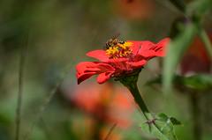 Bee (ugacostarica) Tags: nature costarica wildlife bee zinnia ugacr ugacostarica