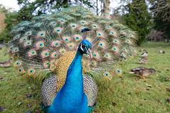 Peacock Plumage (H McCann) Tags: blue wild green bird animal eyes bc display britishcolumbia birding feathers peacock victoria vancouverisland ornithology beaconhill avian plumage yyj