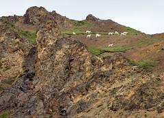 Dall Sheep (IceNineJon) Tags: travel summer animals alaska photography us seasons unitedstates sheep unitedstatesofamerica hill healy dall denalinationalpark dallsheep canon5dmarkiii 5dm3