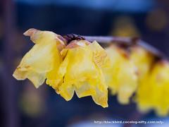 Little winter sweet #04 (osanpo) Tags: flower pen blossom olympus wintersweet ep5