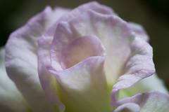 Petals (nak.viognier) Tags: flower petal leicadgmacroelmarit45mmf28 olympusepl3