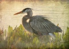 Heron hunting at sunset. (Jill Bazeley) Tags: blue heron florida great birding trail wetlands greatblueheron viera greatfloridabirdingtrail vierawetlands
