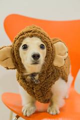 IMG_3391 (yukichinoko) Tags: dog dachshund 犬 kinako ダックスフント ダックスフンド きなこ