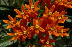 Orange Milkweed (JBtheExplorer) Tags: orange flower wisconsin butterfly garden native gardening monarch milkweed asclepias butterflyweed tuberosa