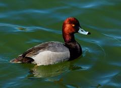 Redhead Drake (Ronald Day) Tags: duck redhead diver lakewood drake waterfowl belmar aythyaamericana pondlife divingduck coloradowildlife kountzelake