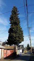 lone tree (SqueakyMarmot) Tags: tree vancouver alley backlane kensingtoncedarcottage east37thavenue
