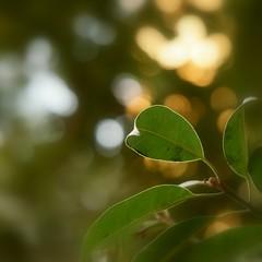 Leaves Green (FarhanZia) Tags: green leaves bokeh sony nex 5t 55210