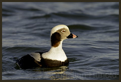 long-tailed duck (Christian Hunold) Tags: bird duck newjersey barnegatlight divingduck longtailedduck eisente tauchente christianhunold