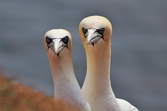 Gannets / Basstlpel (heiko.moser) Tags: bird nature animal tiere natur natura vgel animale tier vogel gannets helgoland basstlpel