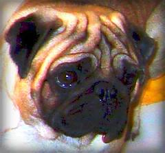 My funny little pug xxx (GIORGINOFOREVER**) Tags: face lines funny pug carlino faccia buffo rughe