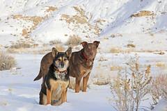 Frikka and Biff, February 2016 (Bob Palin) Tags: winter usa dog snow cold animal canon utah outdoor hiking 100v10f february australianshepherd catahoula club100 instantfave canonef24105mmf4lisusm betterthangood orig:file=2016020605071