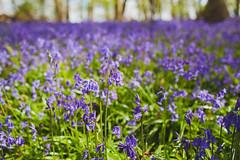 IMG_3352.jpg (abigailfahey) Tags: fern tallulah bluebells easter children picnic bea felix harry chester freddie fairies evie easteregghunt forestwalk stanleybrown