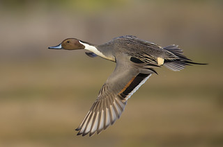 Pintail Revisited