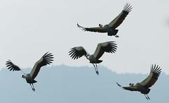 _DSG7173.jpg (sylvainbenoist) Tags: nature ngorongoro animaux oiseaux sites gruiformes tanzanie grueroyale neognathes