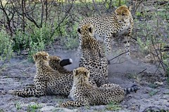 Cheetah (acinonyx jubatus) 11 (Colin Pacitti) Tags: ngc npc cheetah confrontation cheetahcubs acinonyxjubatus coth malecheetah fantasticwildlife femalecheetah hennysanimals sunrays5