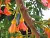 starr-120606-6866-Castanospermum_australe-flowers-Kahanu_Gardens_Hana-Maui (Starr Environmental) Tags: castanospermumaustrale