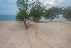 Turtle Tracks (m_c2012) Tags: malaysia borneo sabah turtleisland selinganisland