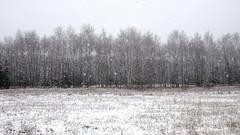 Snowfall (radimersky) Tags: camera trees winter white snow landscape europa europe day cloudy sony meadow poland polska cybershot snowfall flakes zima impression dzie compact nieg panorma widok pada drzewa ka krajobraz opolskie impresja biao patki pochmurno niwki dschx90