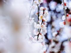 @ () Tags: japan stars olympus seven fukuoka     zuiko kumamoto omd    em1     m43         1454          micro43 microfourthirds kumamon  olympusem1