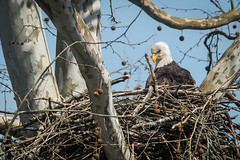 Proud Parent (from our view) Tags: blue sky tree home march daylight sticks nikon nest eagle fuzzy branches baldeagle parent bark limbs protective nikkor hatched eaglet 2016 watchful scyamore d810