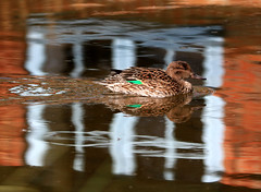 FEMALE TEAL (gazza294) Tags: flickr flicker flckr flkr garymargetts gazza294