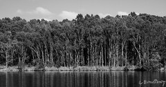 Landscape (Aviator195) Tags: wood blackandwhite lake nature water monochrome landscape wooden cool interesting flora nikon sydney australia monochromatic lagoon swamp wetlands environment marsh eco woah narrabeen wetland ecosystem greyscale waterscape wodden northernbeaches warringah narrabeenlake narrabeenlakes d7100 narrabeenlagoon wetlad nikond7100