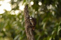 Peron's Tree Frog (Litoria peroni) (tropidechis2) Tags: nature bokeh wildlife amphibian frog treefrog australianwildlife litoria peronstreefrog chrishay australianfrog litoriaperoni