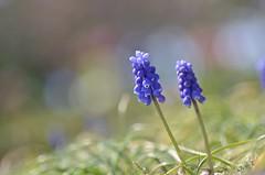 muscari (snowshoe hare*) Tags: flowers spring botanicalgarden muscari grapehyacinth  dsc0317