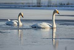 Two whooper swans swimming (Digikuvaaja) Tags: blue winter wild white lake snow cute bird ice nature water beautiful animal swimming finland season outdoors hope spring swan wildlife innocent feather reserve peaceful clean innocence environment daytime serene wilderness lovely waterfowl majestic pure graceful ornithology purity whooper cygnus whooperswan cygnuscygnus