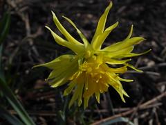Daffodil (Alta alatis patent) Tags: flowers spring daffodil botanicalgarden narcis botanicalgardenutrecht
