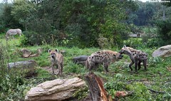 Hyenas (Schwanzus_Longus) Tags: wild dog male animal female laughing cat germany zoo furry king power outdoor critter lion dirty leipzig german jaws strong hunter spotted curious alpha predator creature majestic scar hyena scars coward scarface civet rival crocuta ajaba lubanga
