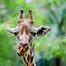 Giraffa Male
