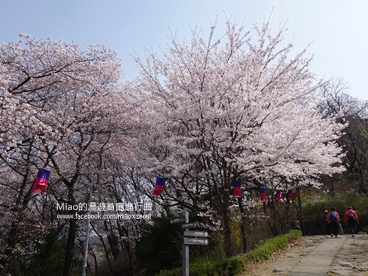 안산공원벚꽃13