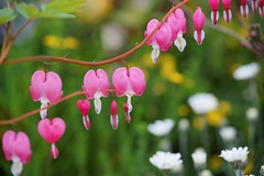 () /Dicentra spectabilis (nobuflickr) Tags: flower nature japan kyoto  bleedingheart  dicentraspectabilis thekyotobotanicalgarden    awesomeblossoms   20160320dsc04022