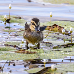 junior III (Fat Burns ☮) Tags: bird fauna duck ducklings waterbird bribieisland australianbird pacificblackduck anassuperciliosa australianfauna buckleyshole nikond750 sigma150600mmf563dgoshsmsports sigmateleconvtc1401nik