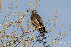 Beautiful juvenile Bald Eagle unaware its picture was being taken