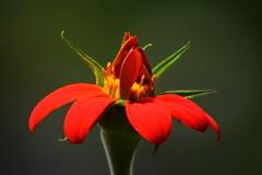 Echinacea alza sus ptalos al cielo (Govinda John) Tags: red naturaleza flores flower green nature yellow canon echinacea flor primerplano canont5i