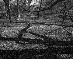 Branches and echo, shadows and leaves (Hyons Wood) (Jonathan Carr) Tags: trees bw white abstract black monochrome leaves rural landscape lights shadows branches north east 4x5 abstraction largeformat 5x4 hyonswood