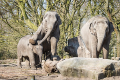 2016-03-17-14h25m29.BL7R1418 (A.J. Haverkamp) Tags: zoo rotterdam blijdorp dierentuin diergaardeblijdorp asiaticelephant sunay aziatischeolifant httpwwwdiergaardeblijdorpnl canonef100400mmf4556lisusmlens pobrotterdamthenetherlands dob10082013 nhilinh dob20082015